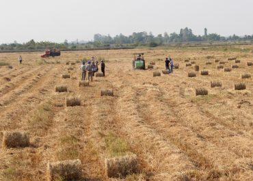 Nên hay không nên đốt rơm rạ trên ruộng lúa
