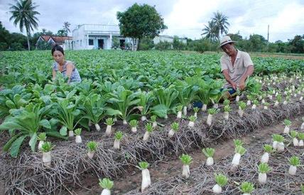 Hướng dẫn kỹ thuật trồng rau cải củ